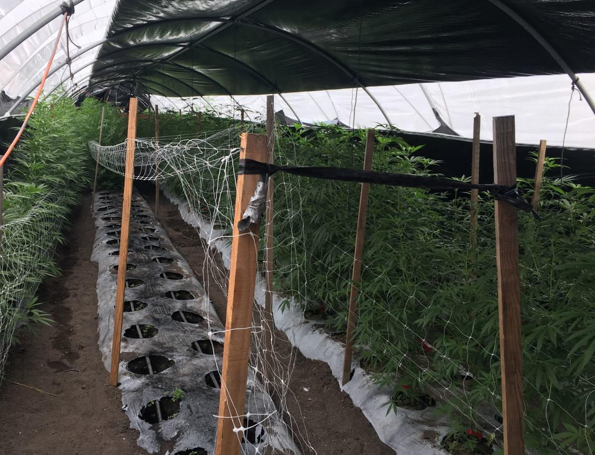061719 Buellton cannabis bust-plants growing
