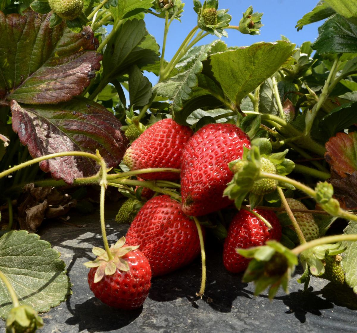 072219 Strawberries 02.jpg