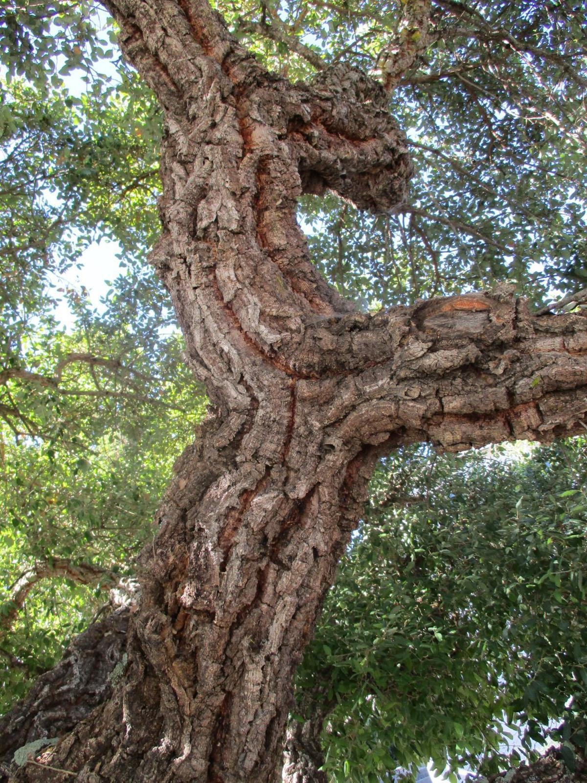 Highlight: Cork oak
