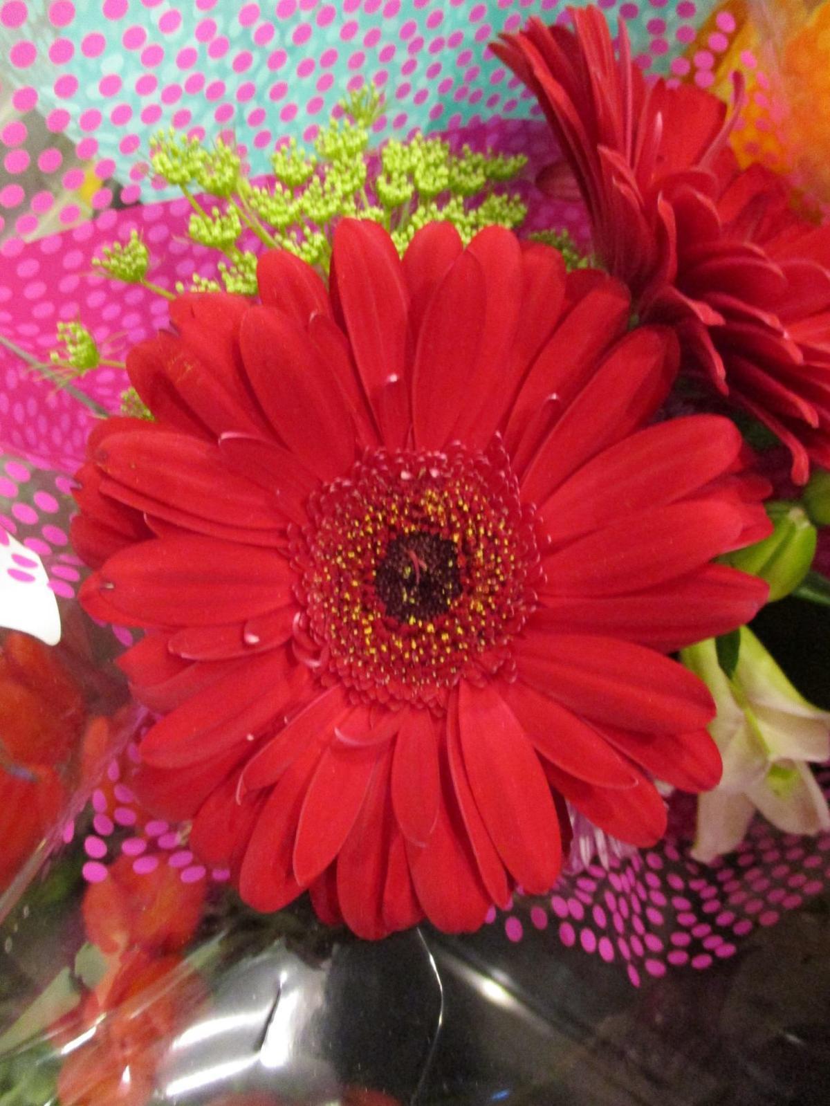 Highlight: Transvaal daisy