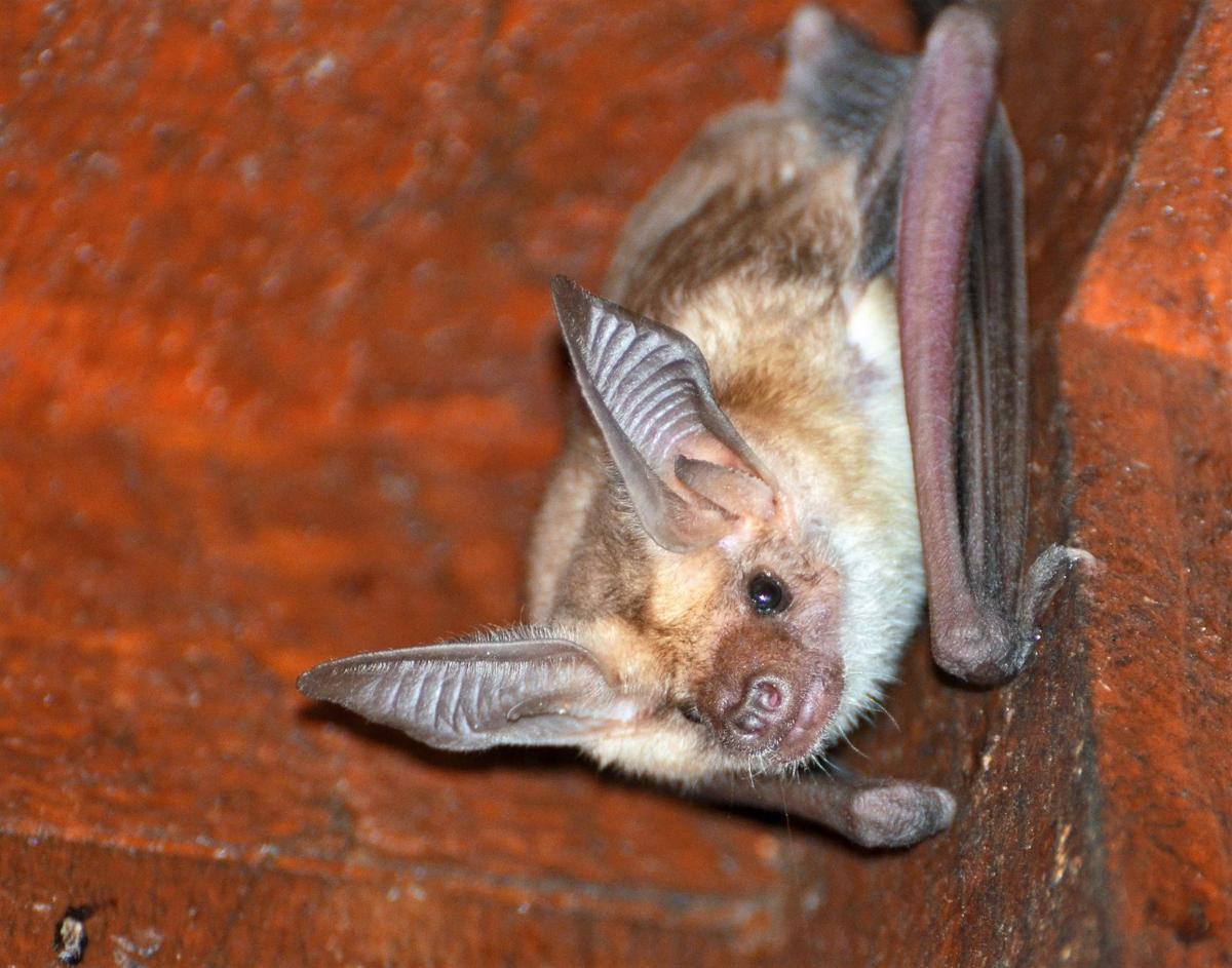 Ballard the pallid bat
