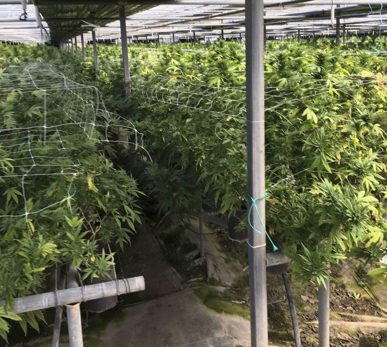 Illegal cannabis 032819