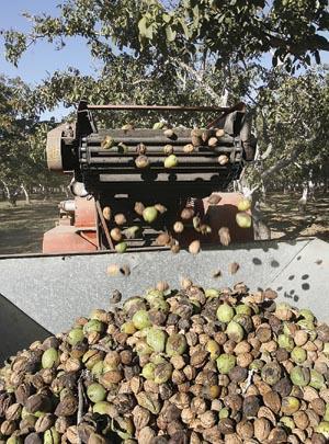 Harvest Rolls To Close At Hibbits Ranch Local News Santamariatimes Com