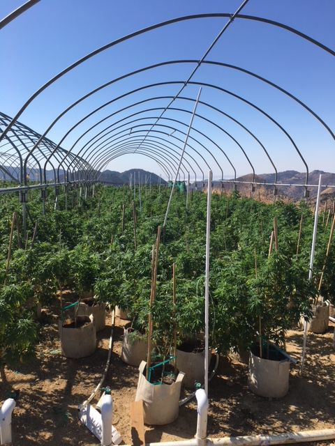Illegal marijuana cultivation in hoop houses