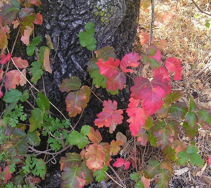 Poison oak in full color