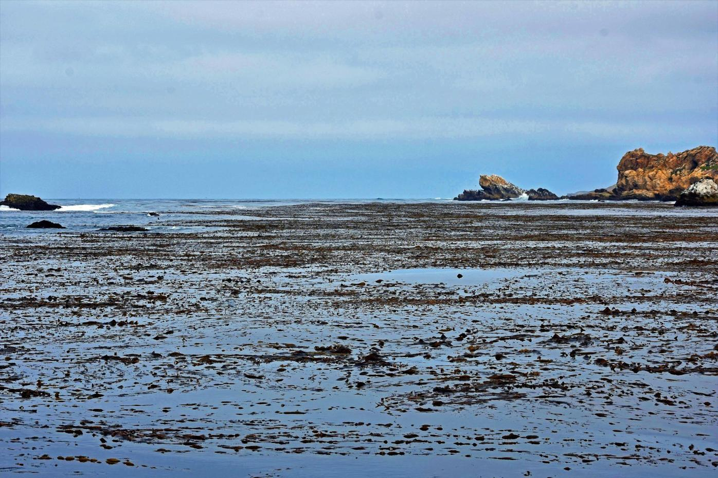 kelp bed along the Pecho Coast.jpg