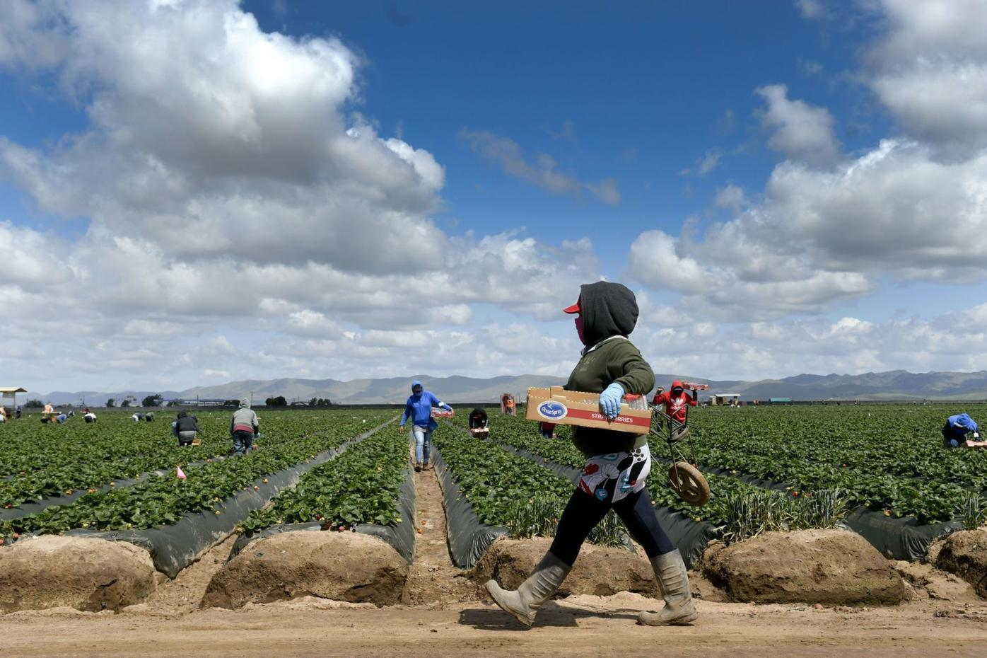 Strawberry harvester 02