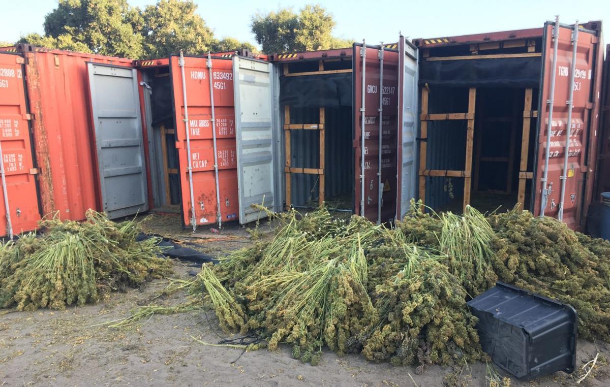 061719 Buellton cannabis bust-harvested pot