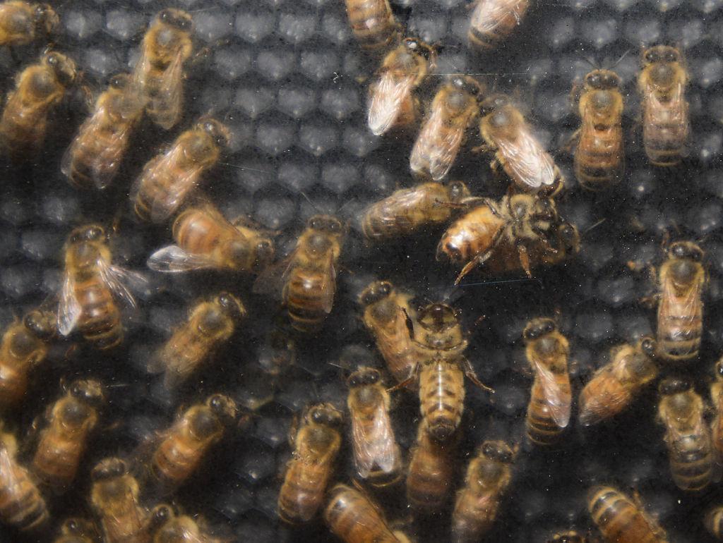 081514 Honey Bee Day 03.JPG