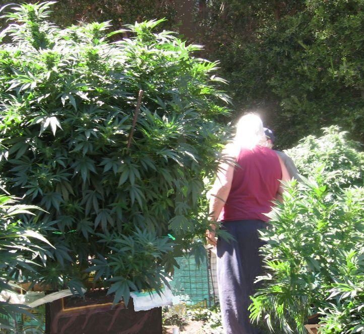 Medicinal marijuana grow