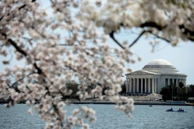 The Jefferson Memorial is seen across the Tidal Basin as Washington, D.C.'s famous cherry blossom trees reach peak bloom just ahead of the annual National Cherry Blossom Festival, on April 11, 2014. Amid escalating COVID-19 concerns, the 2020 festival has been called off, but the organization is instead promoting its new virtual festival experience.