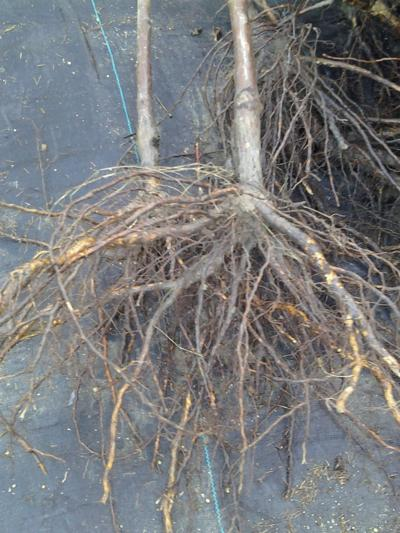 Plant bare root plants properly