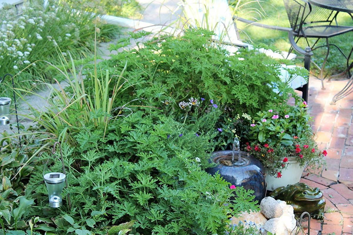 5 Plants That Naturally Repel Mosquitoes Home Garden