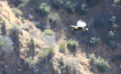 California condor chick 933 in flight