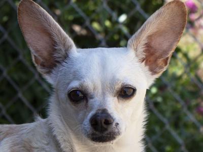 CAPA Pet of the Week: Buster | Pets | santamariatimes com