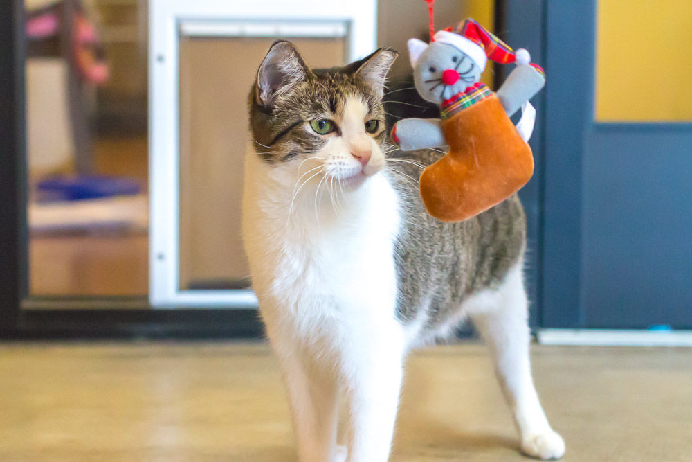110217 cat with toy SMV humane society (ESP)
