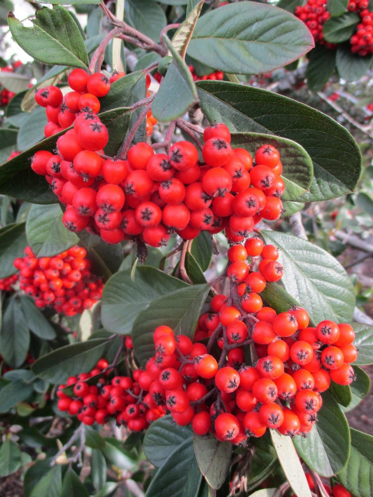 Highlight: Late cotoneaster