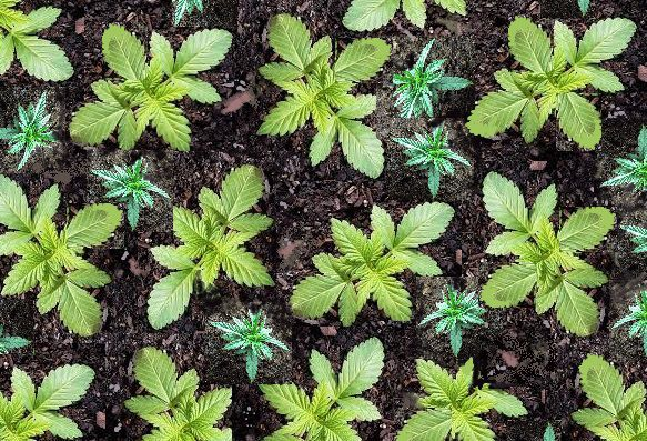 Cannabis nursery seedlings