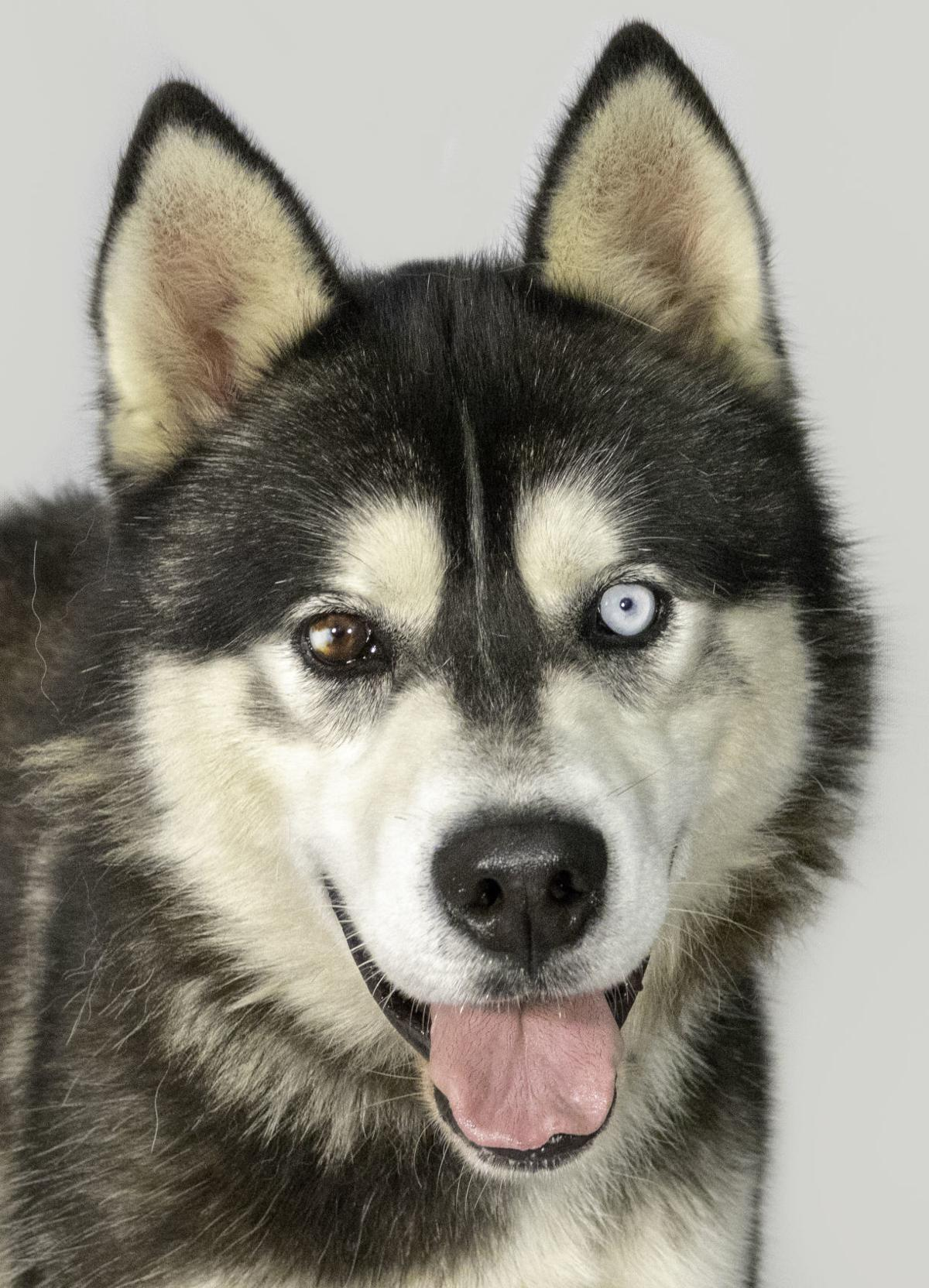 SMAC Pet of the Week -- Lobo