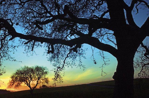 Oak trees beautify our roadways