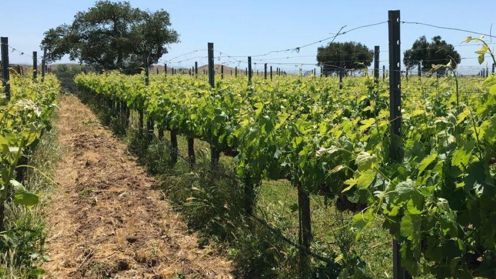 Wine grapes at Zaca Mesa Winery
