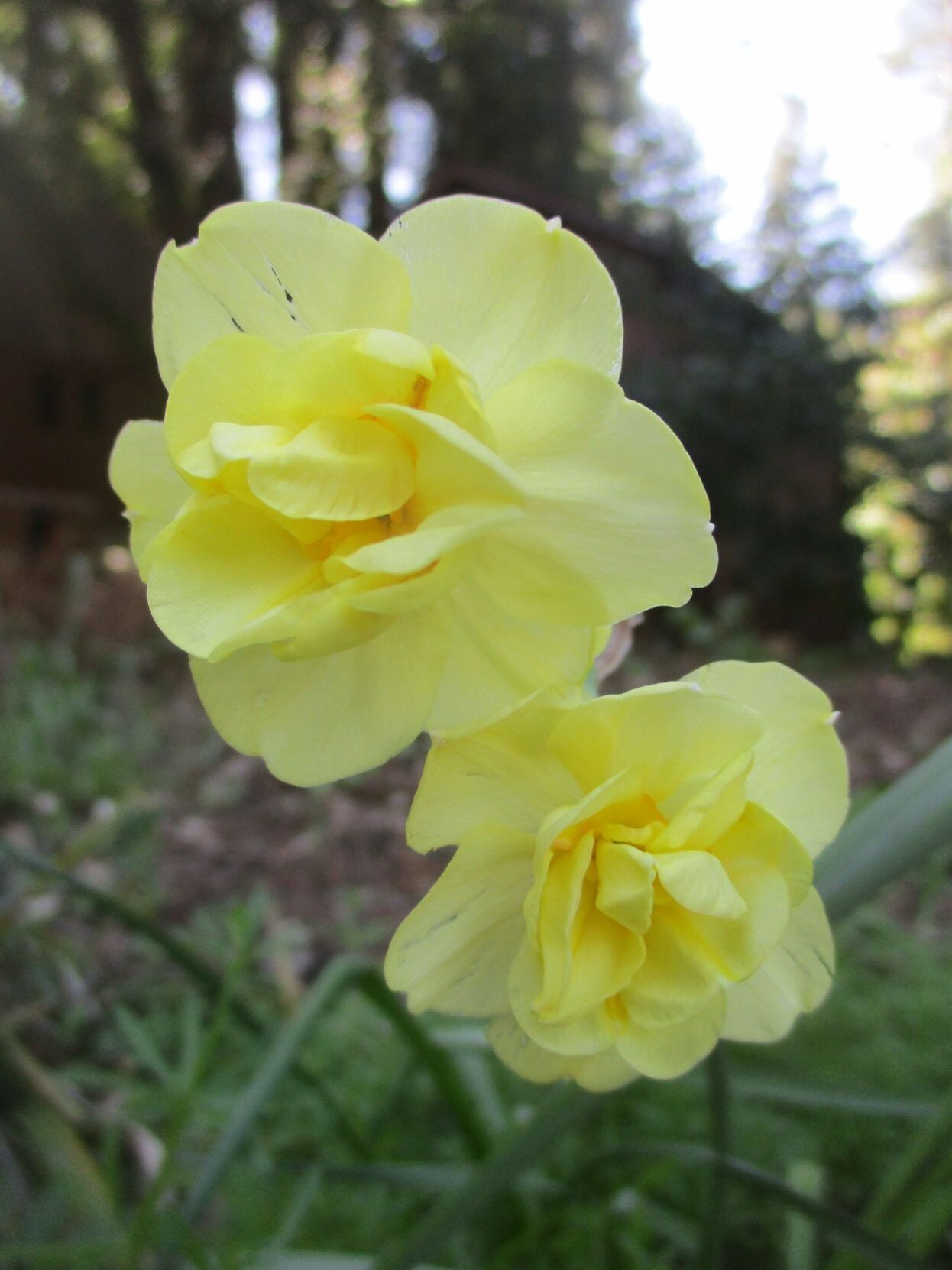 What happens when daffodils finish blooming?