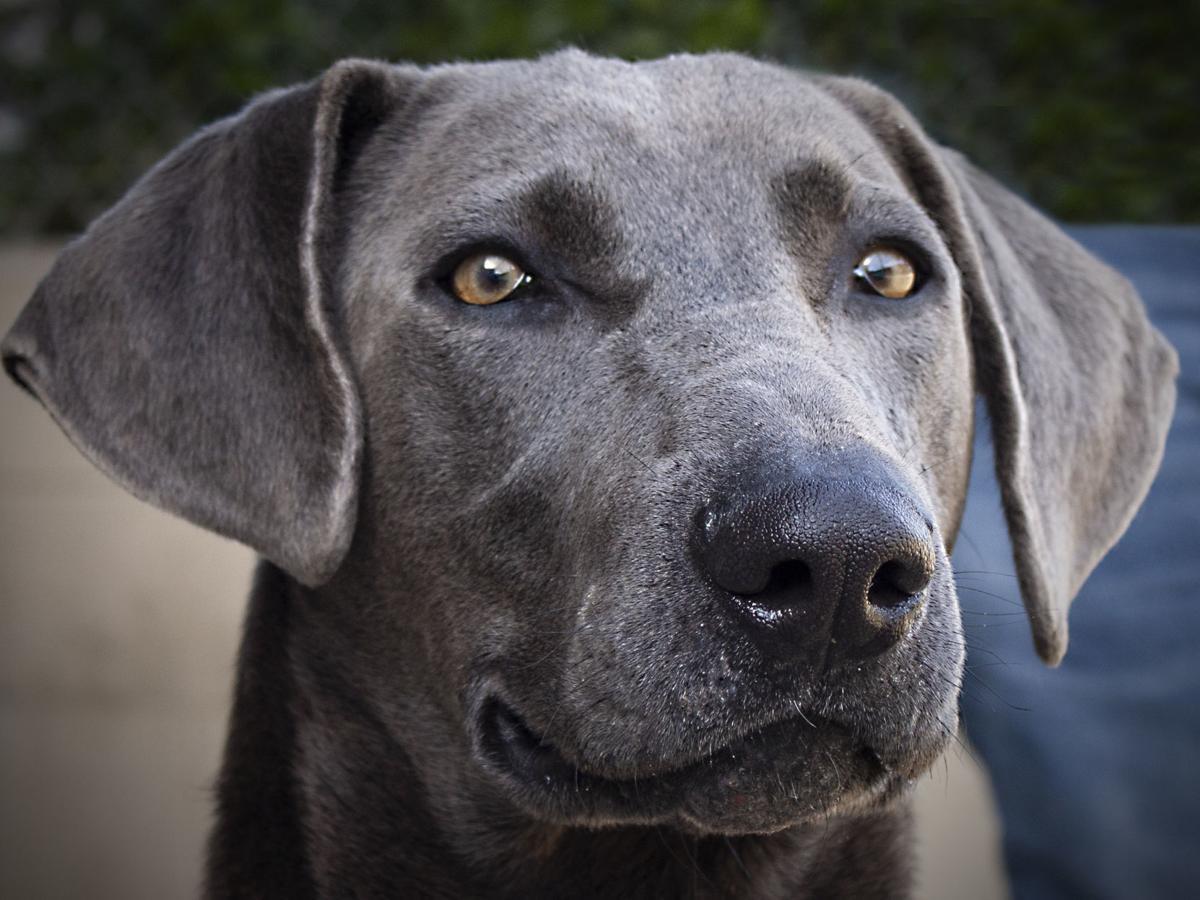 Animal Sec Movies capa pet of the week: blue   pets   santamariatimes
