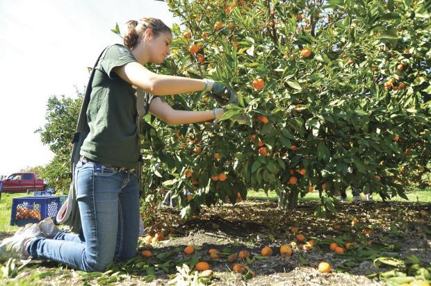 More than 1,000 Central Coast volunteers pick produce, then donate it to needy
