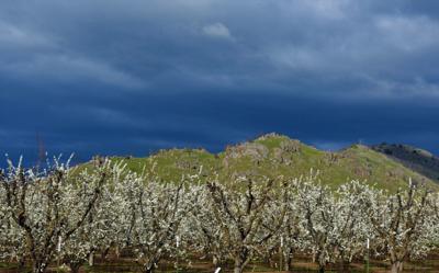 fruit tree blossoms.jpg