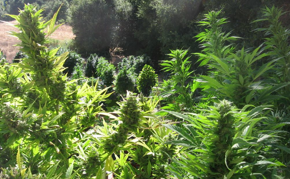 Cannabis forest