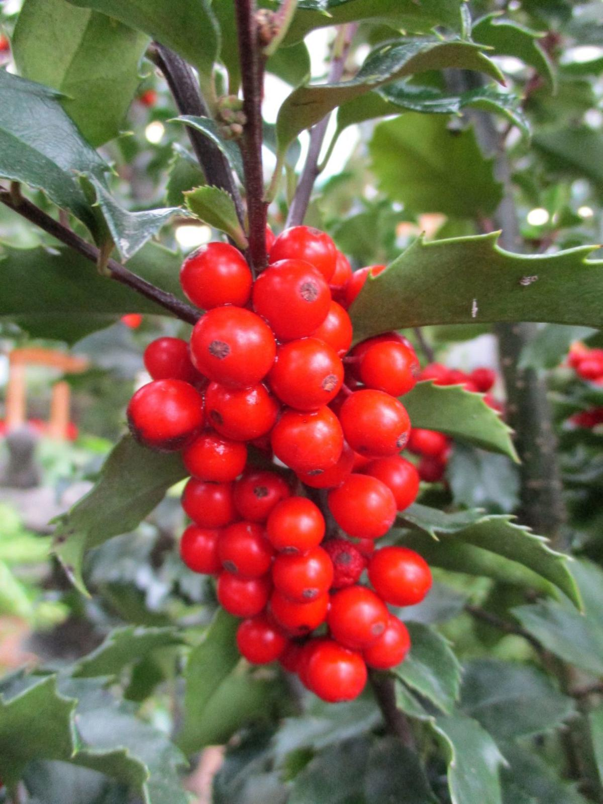 Colorful berries feed overwintering birds