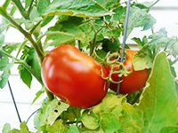 Finch tomatoesW.jpg