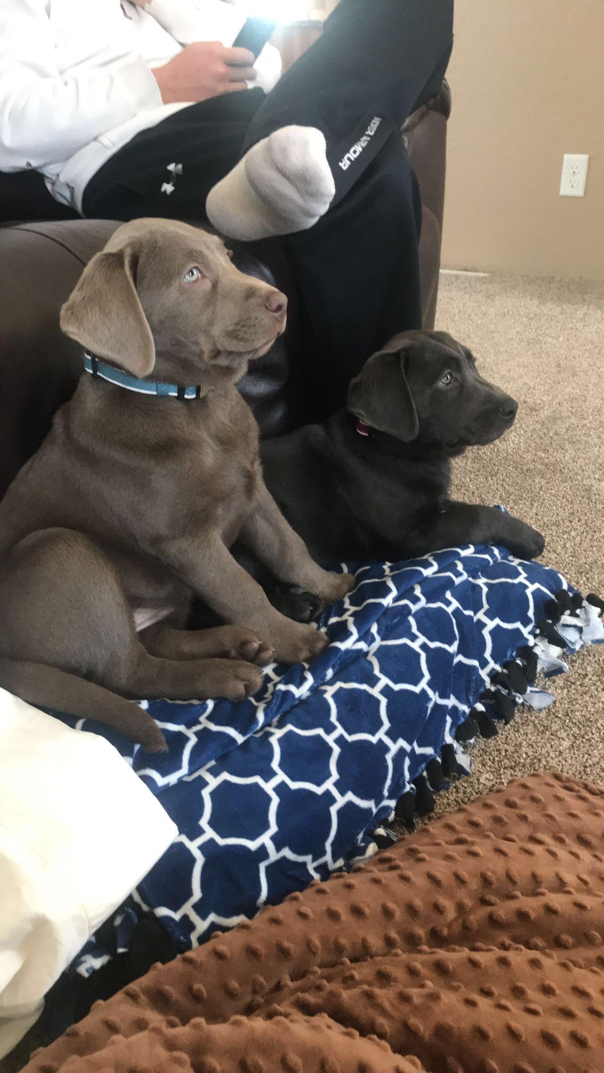 Silver and charcoal Labrador retriever image 1