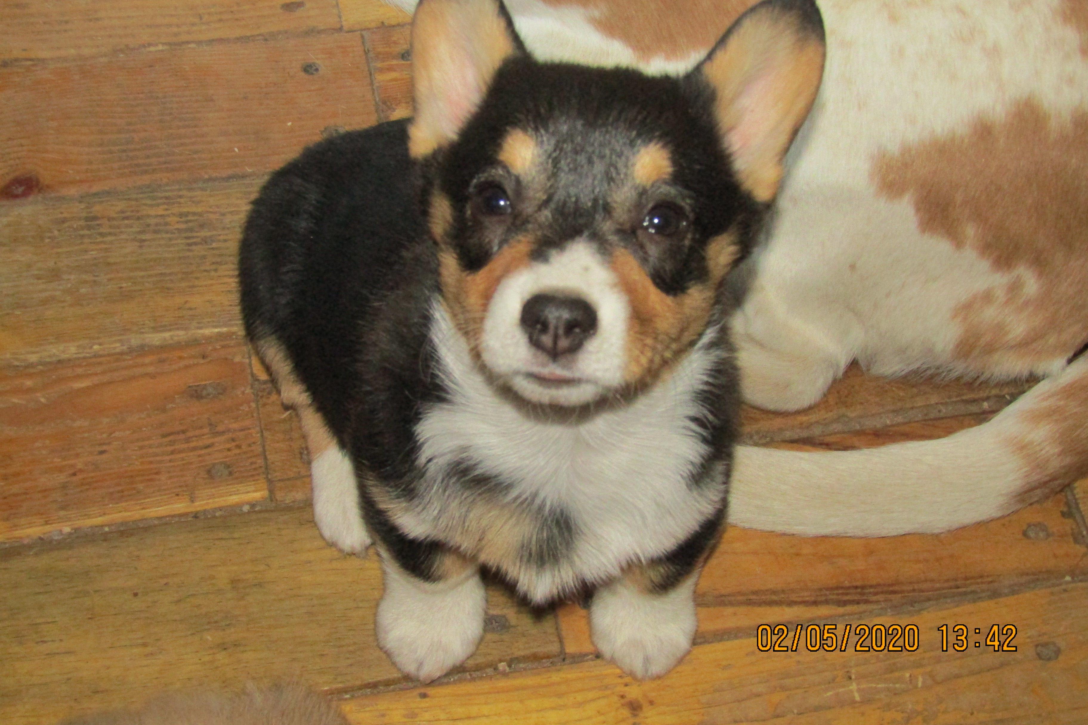 Corgi  pups image 1
