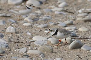 Endangered Shorebird
