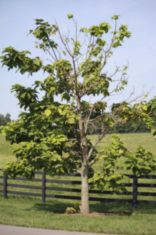 Dieback in landscape trees – could it be Verticillium wilt?