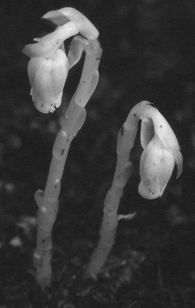 Indian Pipe — Monotropa uniflora
