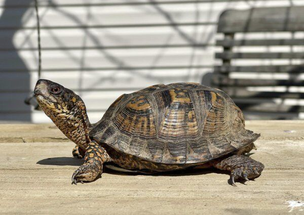 WILDERNESS TRAIL TAILS: The Eastern Box Turtle
