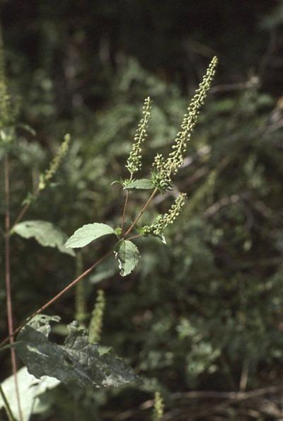 Ragweed considered pest, but offers medicinal purpose
