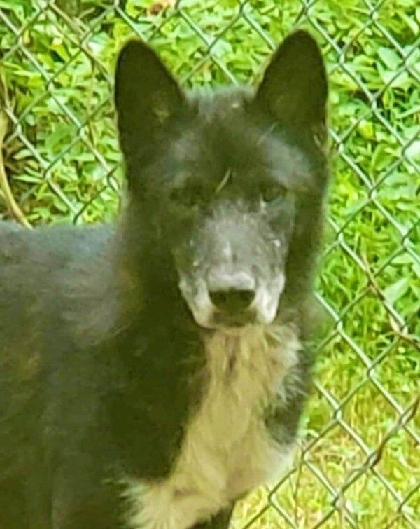 Whitley County wolf dog sanctuary welcomes four new rescues from Texas