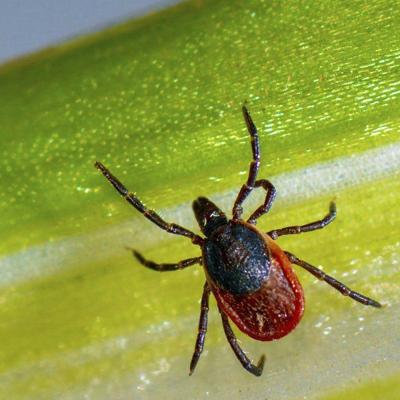 Tick-borne disease on the rise