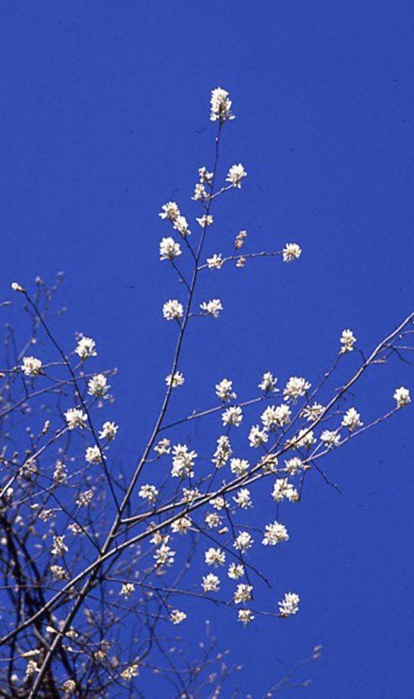 Sarvis Tree