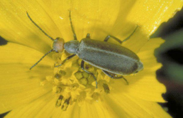Watch for blister beetles in hay