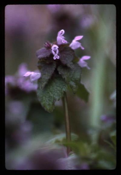 Purple Dead Nettle - Lamium purpureum