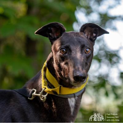 Greyhound of the Week: Harvey
