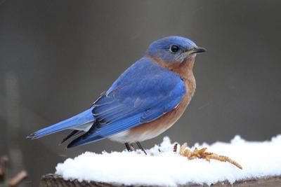 20210222-RNR-bluebird snow6