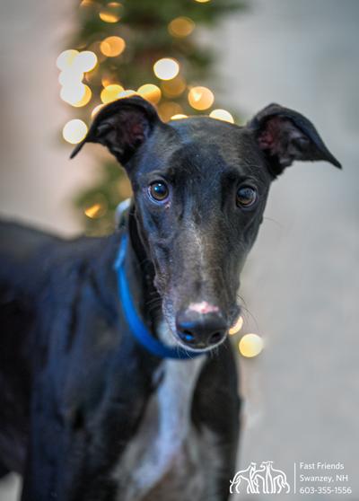 Greyhound of the week: Rusty
