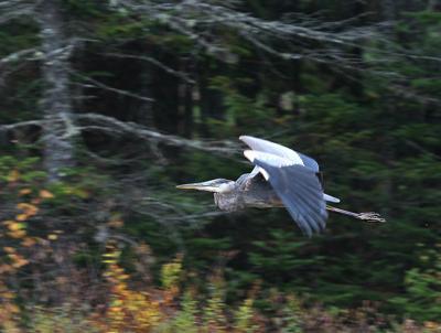 20210719-RNR-bosak gb heron flying