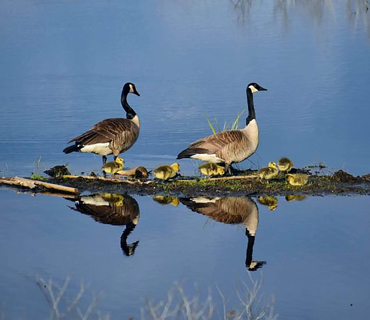 20210518-MAG-goose family 2
