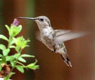 20200713-RNR-bosak hummingbird1